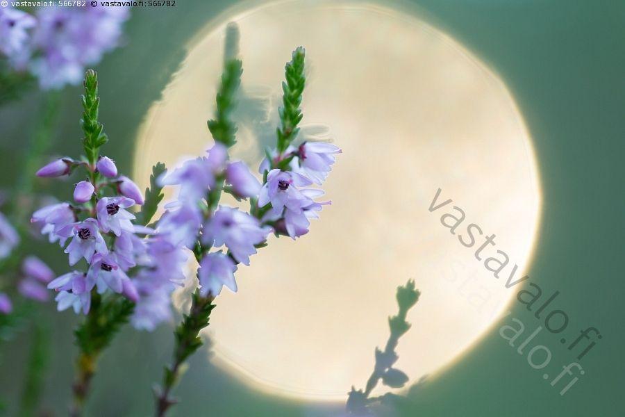 Kanervat elokuussa - kanerva kanervat lila kanervakasvi elokuu kukka kukat nuppu…
