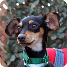 Walnut Creek Ca Manchester Terrier