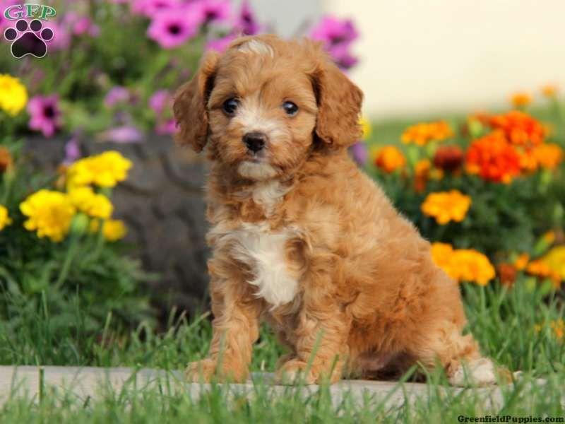 Candice Blue Heeler Australian Cattle Dog Puppy For