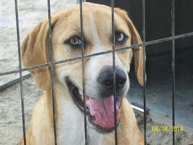 Adopt Trista On Labrador Retriever Mix Labrador Retriever