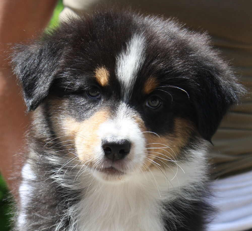 Robin Australian Shepherds 2010 puppies sired by 1 ASCA