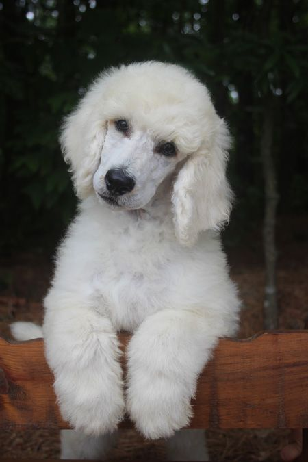 038 Ice S White Blue Polish Male White Standard Poodle Puppy