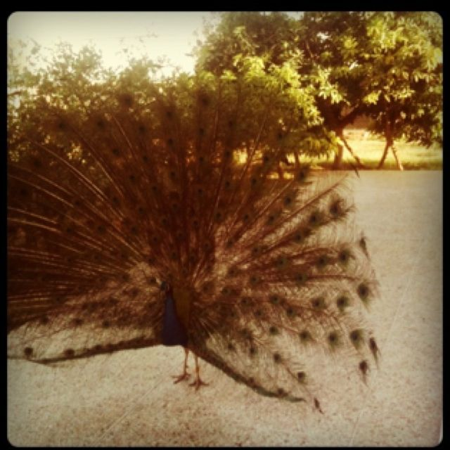 Quality time with my peacocks- heaven