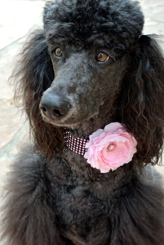 Darla modeling off the pink rhinestone collar <3 {Wagologie}