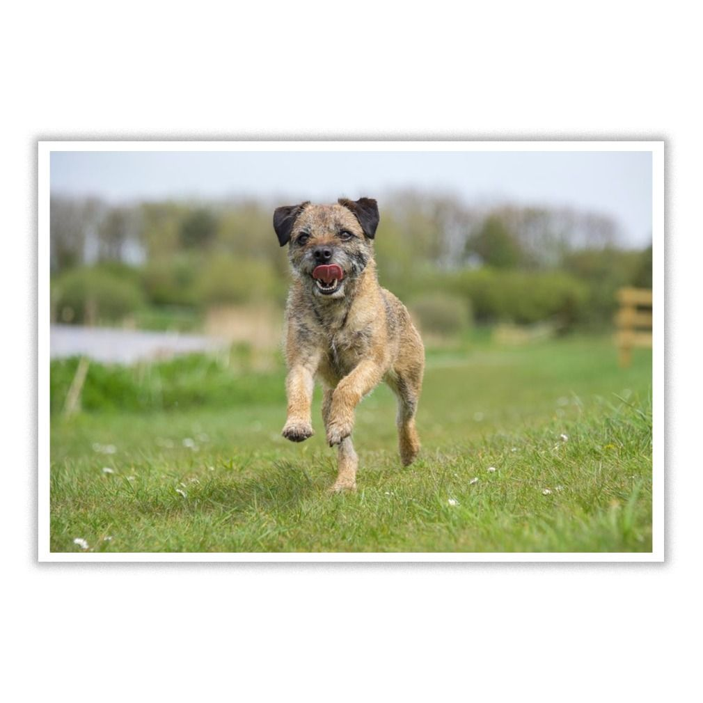 Border Terrier Dog Lover 13 Poster Border Terrier Border Terrier Puppy Dog Lovers