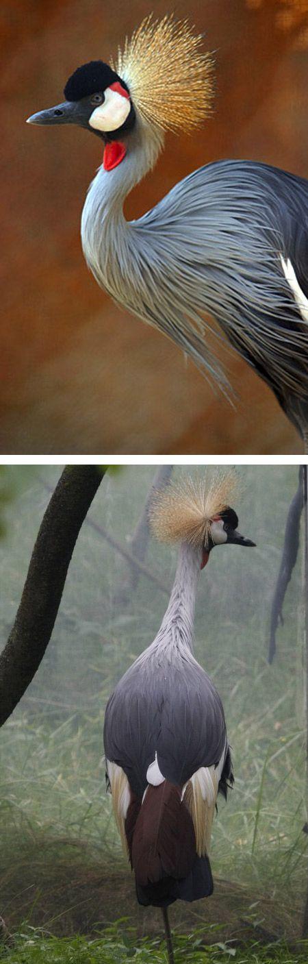 La Grulla Coronada Africana