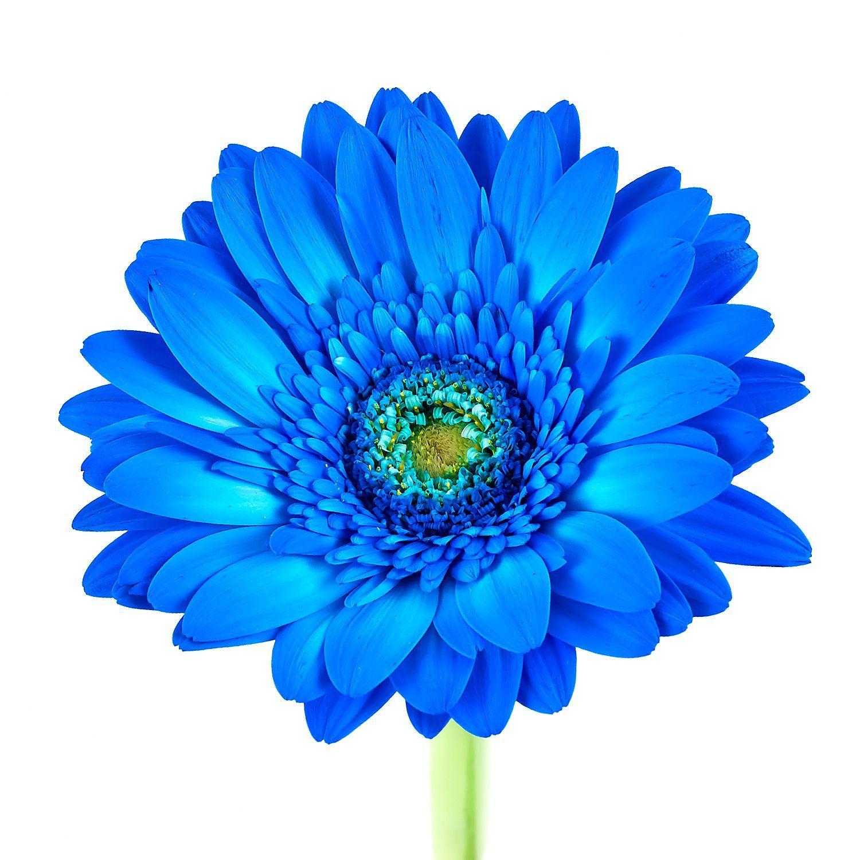 Gerbera Daisies Tinted Blue 80 Stems Sam S Club Gerbera Daisy Cartoon Flowers Gerbera