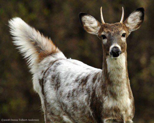 Melanistic Piebald And Albino Whitetail Deer Whitetail Deer Pictures Animals Albino Animals