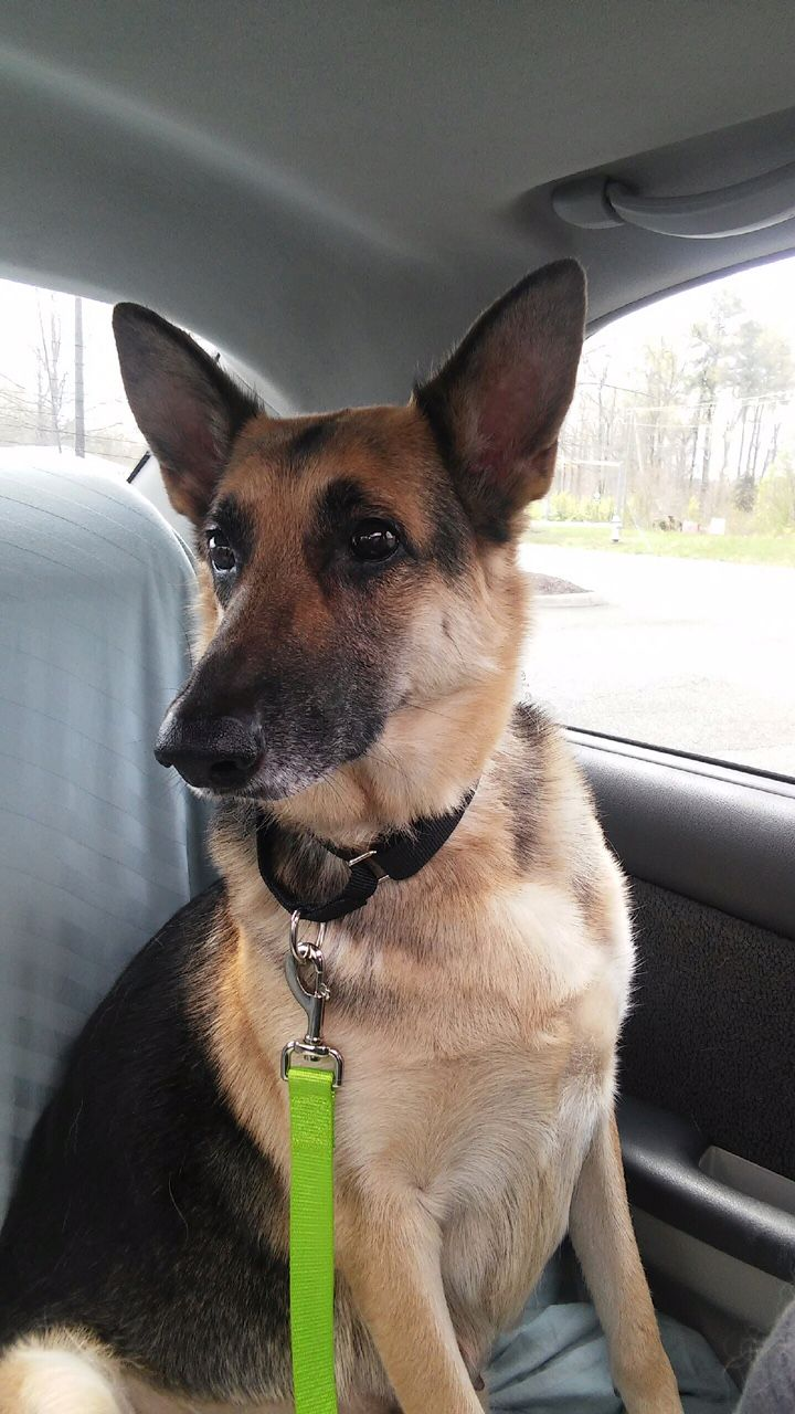 German Shepherd Dog dog for Adoption in Morrisville, NC