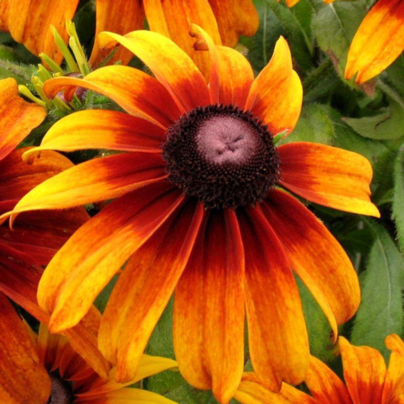 Rudbeckia hirta Rustic Colors Deep reddishorange in the middle