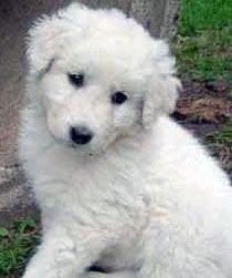 Kuvasz Puppies Too Cute Babies Puppies Hungarian Dog Dogs