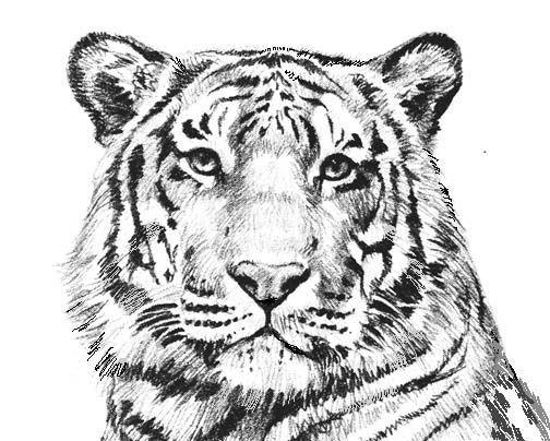 Coloring Pages Tiger Coloring Pages Coloring Pages Pinterest