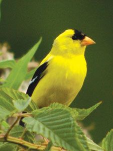 Yellow Finch So Bright And Cheery In The Spring And Summer When