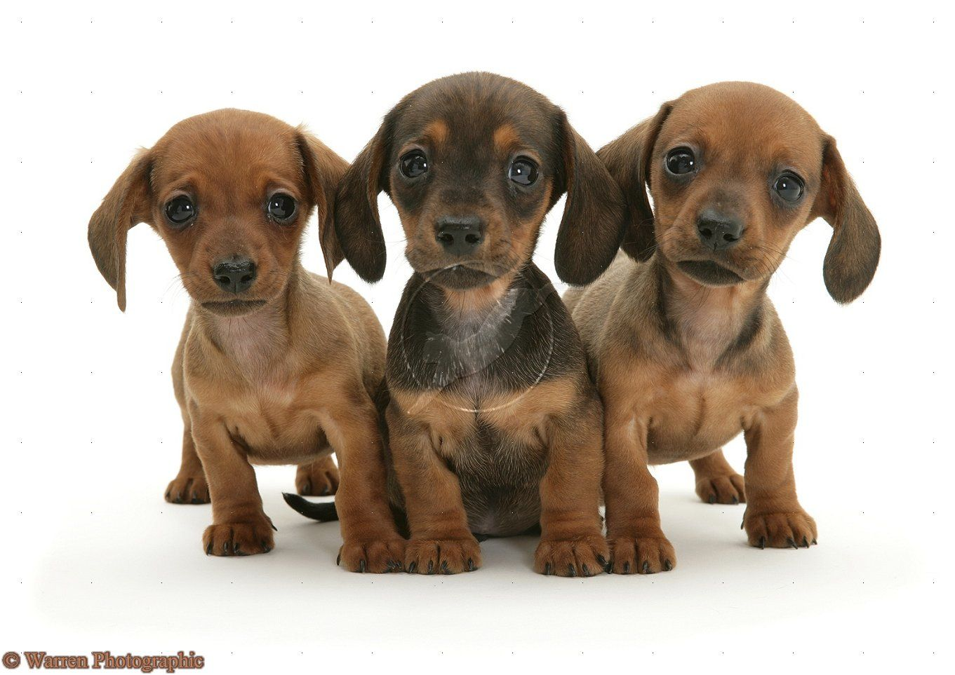 Adorbleness Dachshund Puppies Puppy Dog Photos Dapple Dachshund