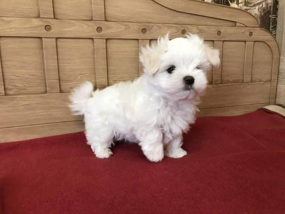 Teacup Maltese Puppies Sale A List Of Teacup Puppies And Teacup Dogs And The Breeders 14 Small White Dog In 2020 Teacup Puppies Maltese Maltese Puppy Teacup Puppies