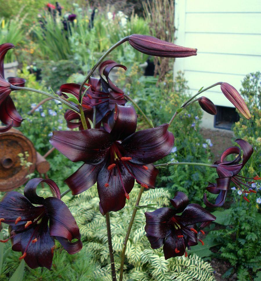 Night Flyer Asiatic Hybrid Lily Bulb Plants Of Interest