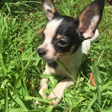 Chihuahua Puppy For Sale In Houston Tx Adn 37553 On Puppyfinder Com Gender Male Age 14 Weeks Old Chihuahua Puppies Chihuahua Puppies For Sale Puppies For Sale