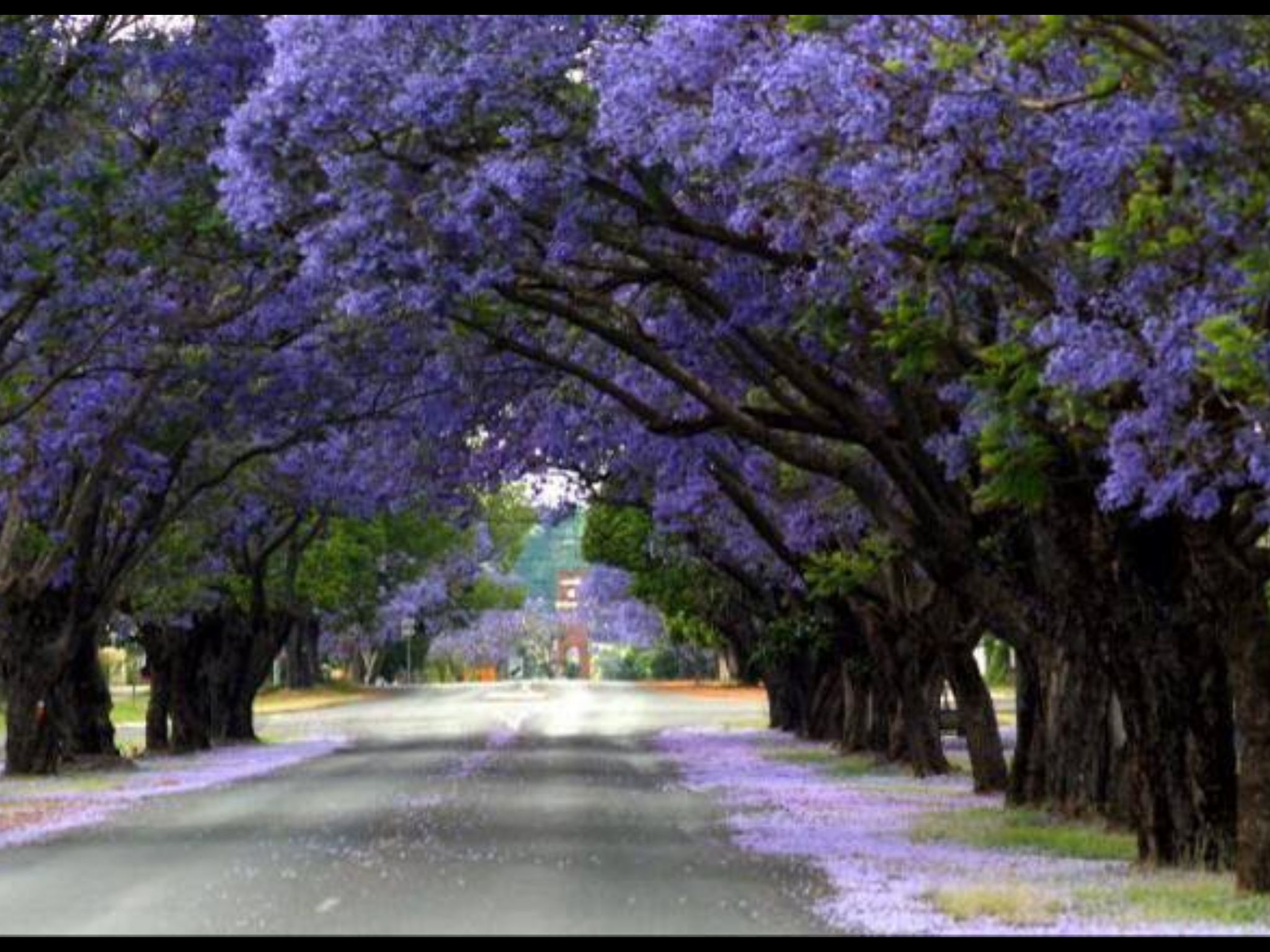 Australia S Answer To Cherry Blossom Season Has Arrived As Pockets Of The Country Burst Into Bloom With Jacar Flower Landscape Jacaranda Tree Beautiful Gardens