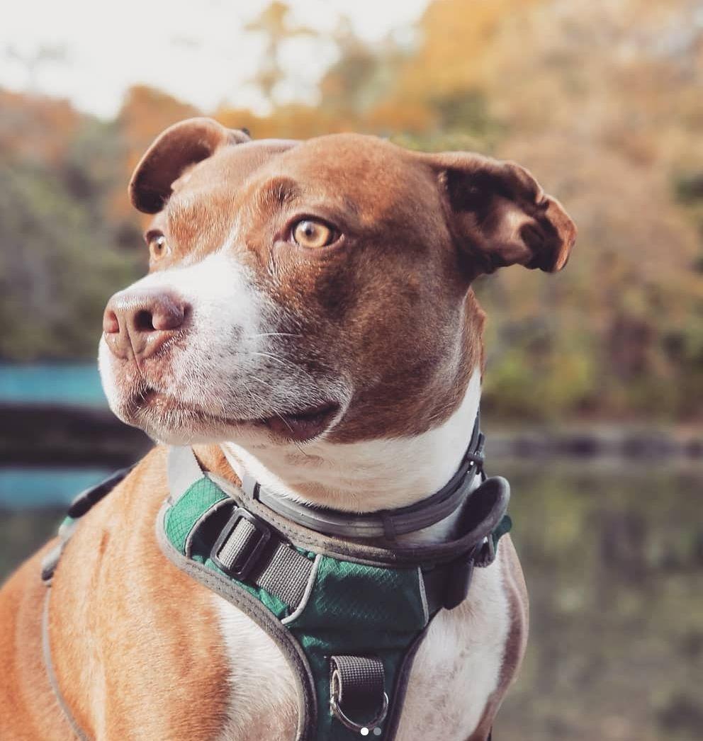 Adventure Dog Harness Dog Harness