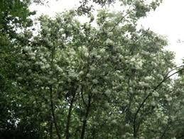Image Result For Hoheria Lyallii Garden