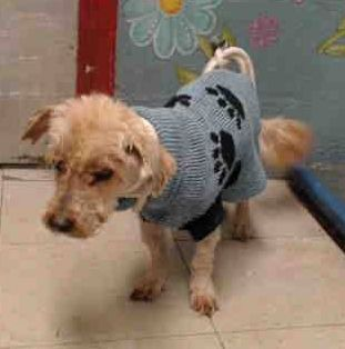 ~ Animal ID #A3231233   *** 12½ Year Old SENIOR ALERT!!! ***   ‒ My Name is BROWNIE. I am a Male, Brown Miniature Poodle and Terrier. The shelter thinks I am about 12 years and 6 months old. I have been at the shelter since May 11, 2015.     L.A. County Animal Care Control: Lancaster  Telephone ‒ (661) 940-4191 5210 West Avenue I Lancaster, CA https://www.facebook.com/OPCA.Shelter.Network.Alliance/photos/pb.481296865284684.-2207520000.1432210025./823578984389802/?type=3&theater
