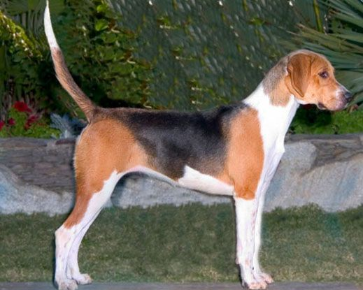 The English Foxhound Is One Of The Four Foxhound Breeds Of Dog