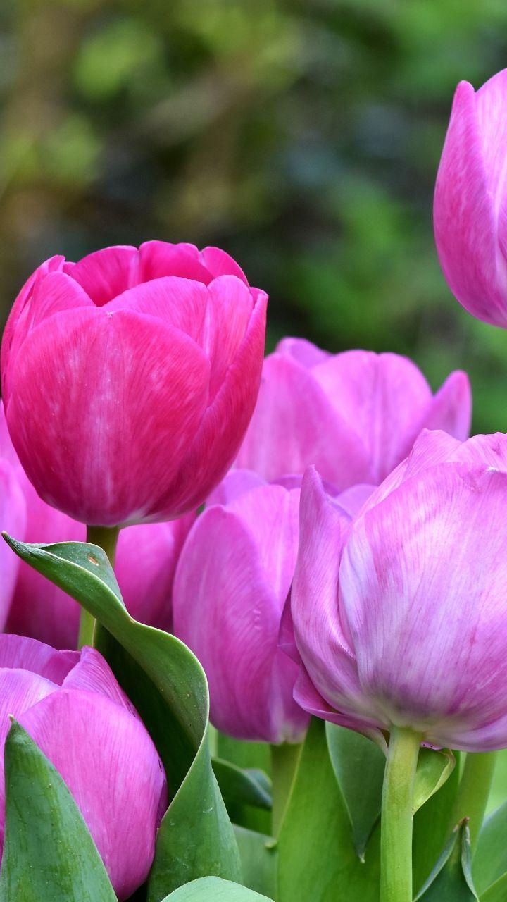 Pink Tulips Fresh Bloom Beautiful 720x1280 Wallpaper Flower