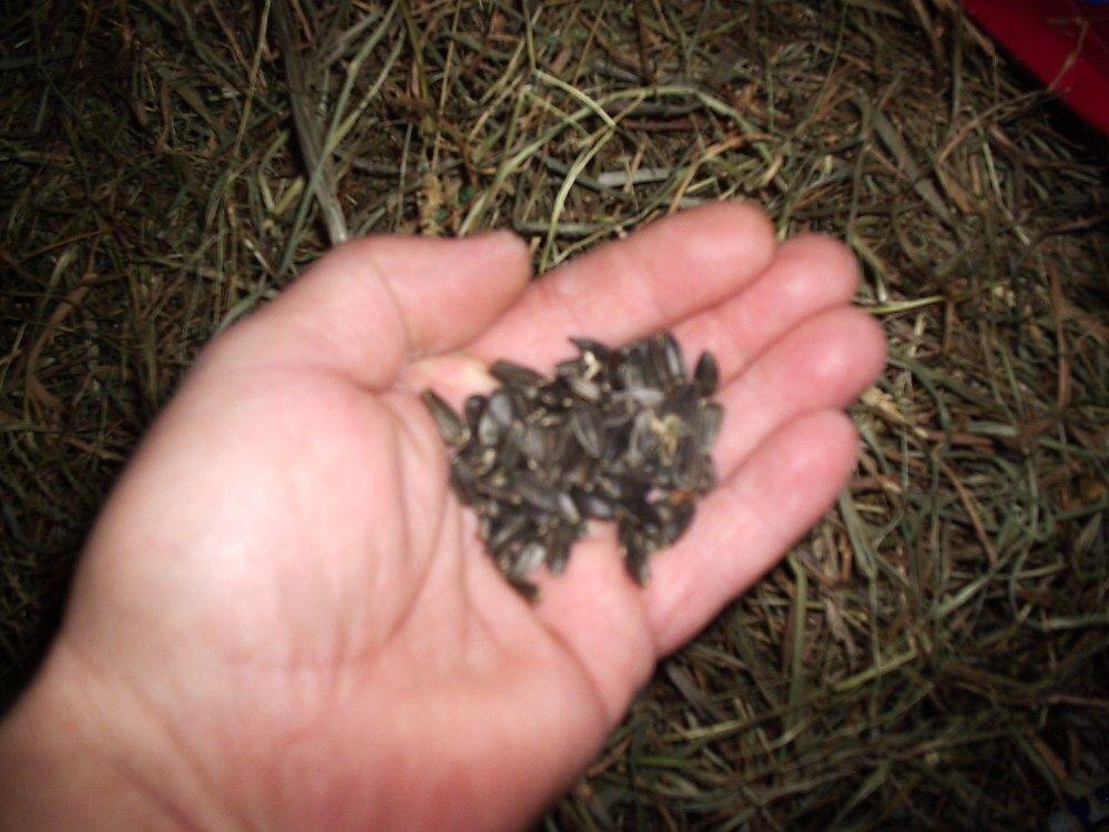 Black Oil Sunflower Seeds (BOSS) for rabbits