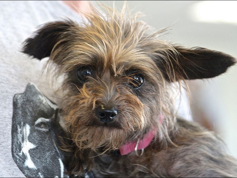 *ADOPTED* Gidget Age 3yr (as of Sept., 2013) Sex female