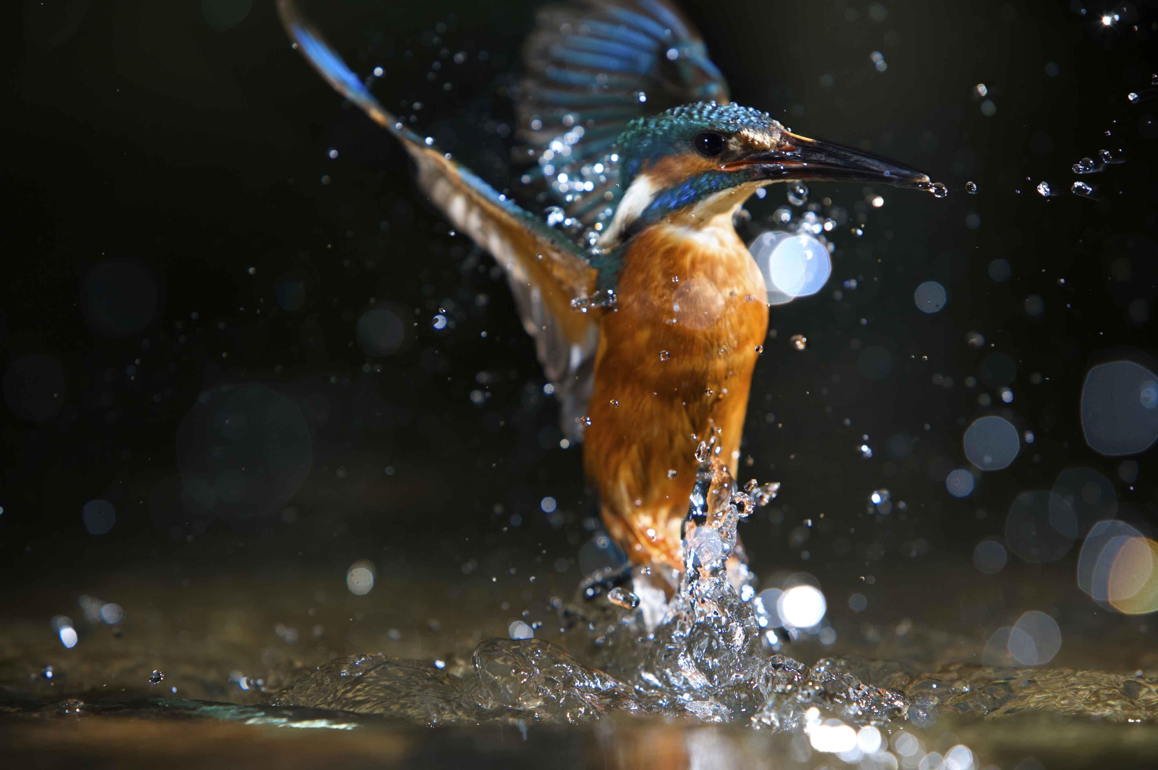 High Definition Kingfisher Bird Hd Wallpaper Common Kingfisher Kingfisher Kingfisher Bird
