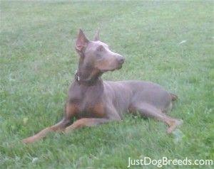 Fawn Doberman Doberman Pinscher Doberman Cute Dogs