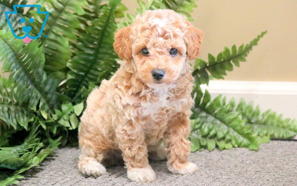 Pin on Toy Poodle Puppies