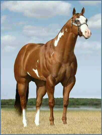 Stallion Champion Aqha Halter Horse Quarter Horse Horse Painting