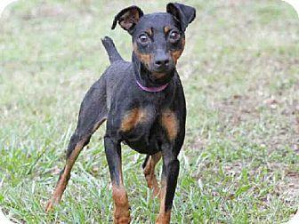 Tallahassee Fl Miniature Pinscher Mix Meet Slim A Dog For Adoption Http Www Adoptapet