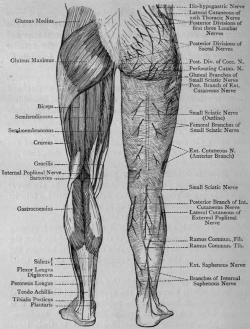 Posterior Leg Muscles | Fig. 70. - Muscles and Cutaneous Nerves of ...