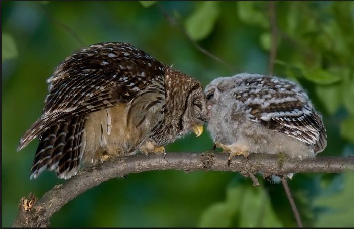Barred Owl With Baby - Night Sounds From The Porch