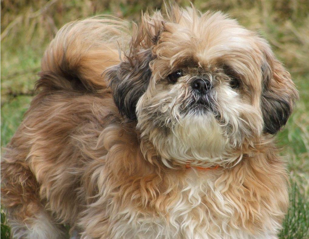 Things You Should Know Before Buying A Shih Tzu Puppy Shitzu