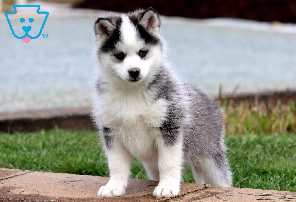 Husky Puppies For Sale In Vancouver Wa Ideas