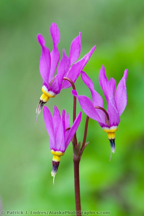Bright pink blossoms of shooting star, Abercrombie state park ...