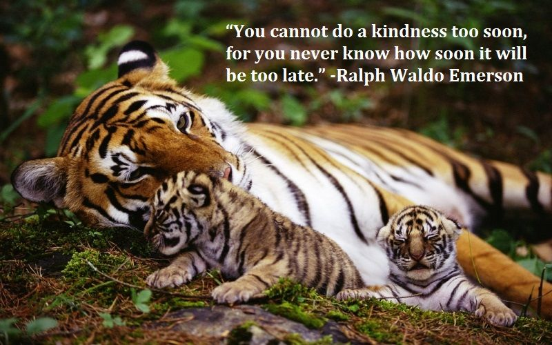 Tiger Quotes You Cannot Do A Kindness Too Soon For You Never