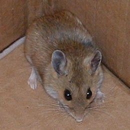 How To Get Rid Of Mice In Walls And Ceilings Of Your House Remedies To Keep Mice Away Youtube Getting Rid Of Mice Rodent Control Keep Mice Away