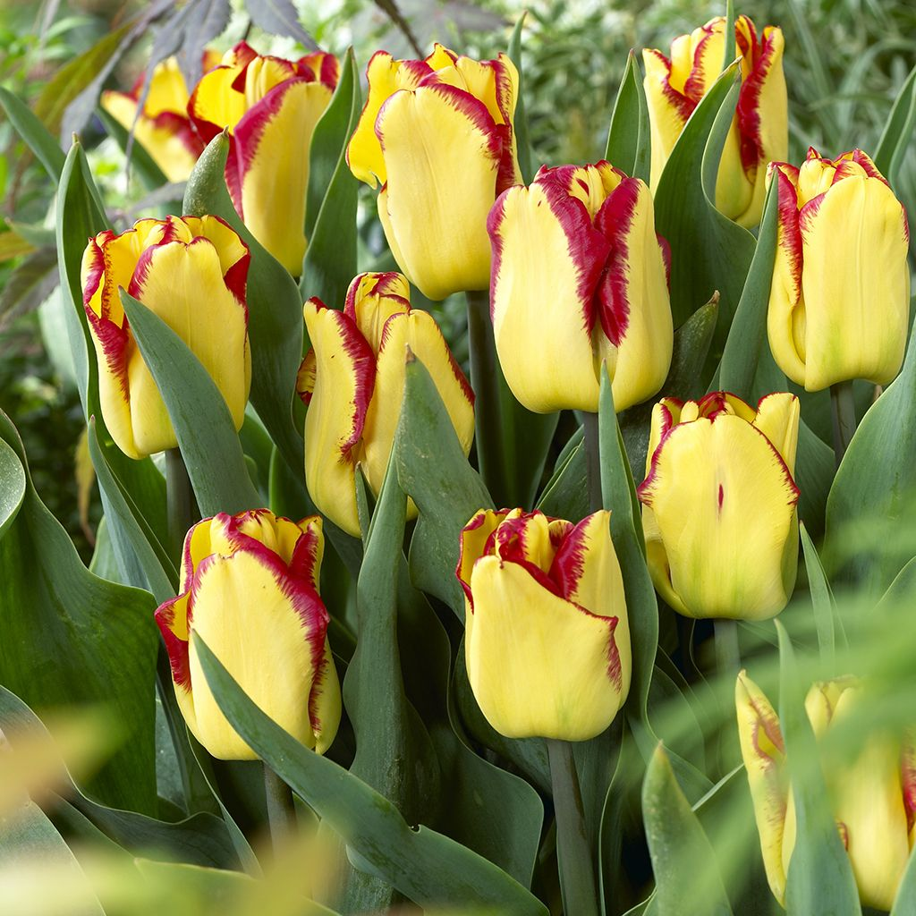 Tulip Cape Town From Ngb Member Van Zyverden Inc These Vibrant Bicolored Tulips Are Stunning In Bloom Sunny Bulb Flowers Planting Bulbs Flowers Perennials