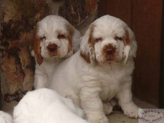 Clumber Spaniel Pups ~ Classic Look
