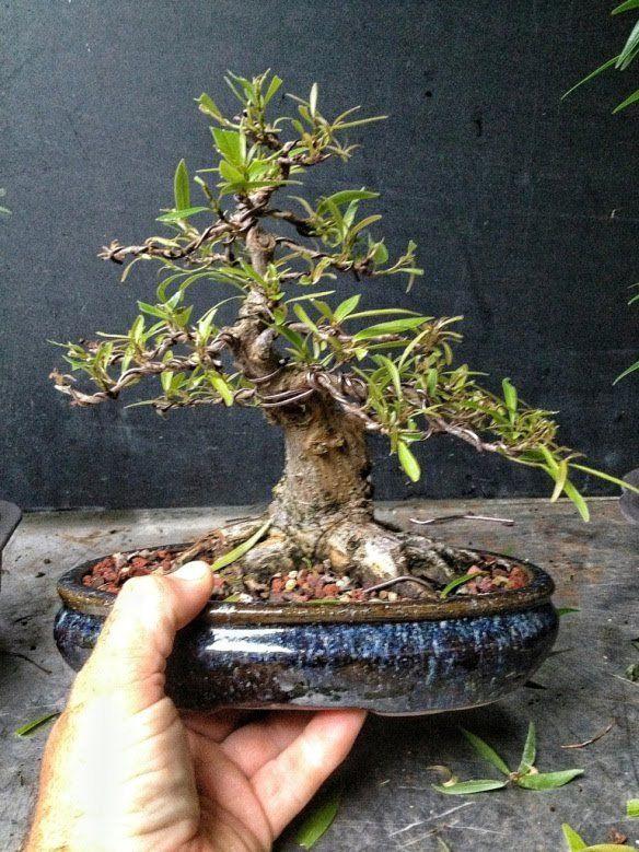 20130723 094322 Jpg Bonsai Pinterest Bonsai Plants And Tree