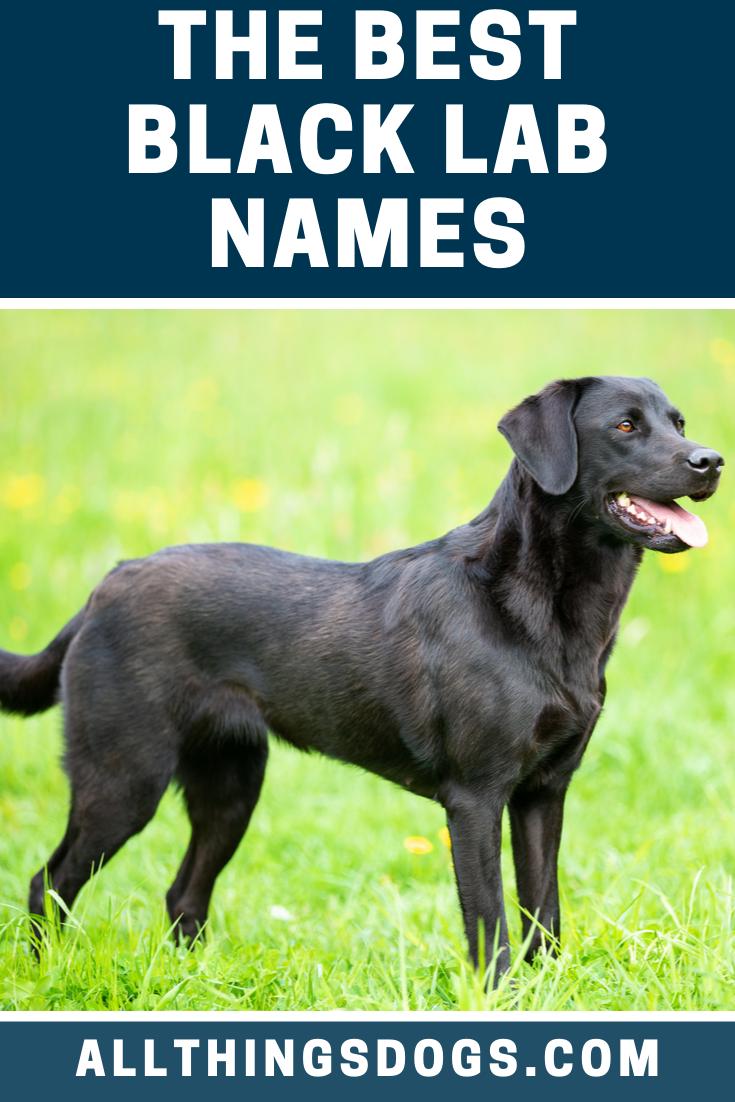 Best Black Lab Names Black Lab Names Black Lab Black Dog Names