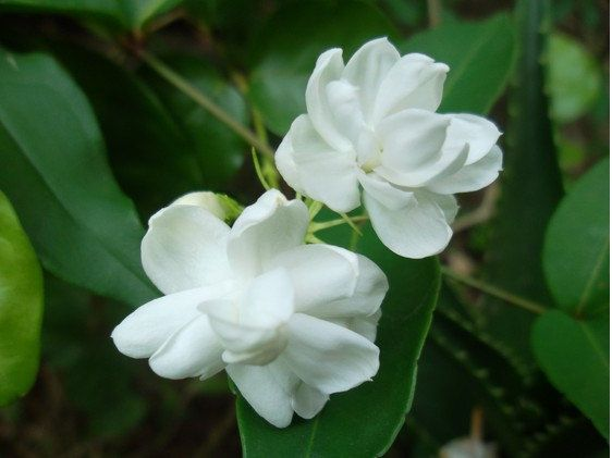 Name Gardenia Other Common Names Cape Jasmine Cape Jessamine