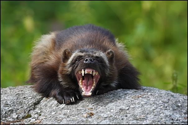 Angry Animals Google Search