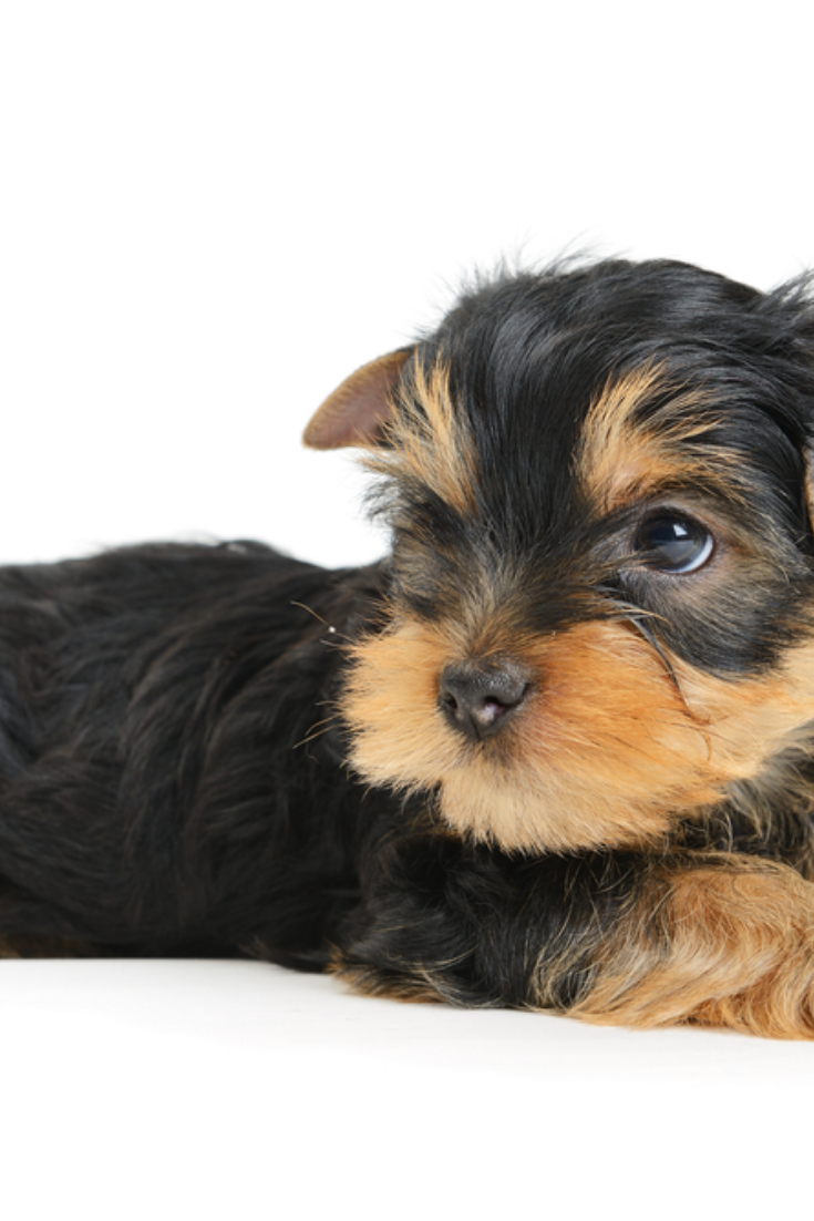 Yorkshire Terrier Puppy The Age Of 1 Month Isolated On White Yorkshireterrier Yorkshire Terrier Puppies Yorkshire Terrier Terrier