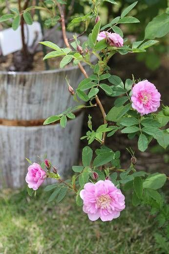 Rosa majalis foecundissima
