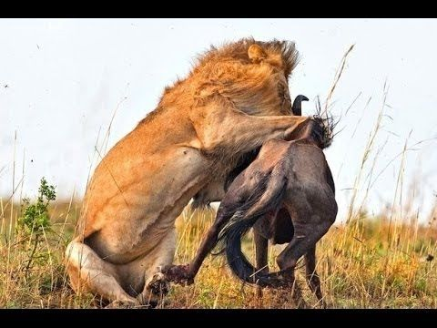 Lions hunting prey 2015 HD documentary National Geographic Animals attack kills Wildlife - YouTube